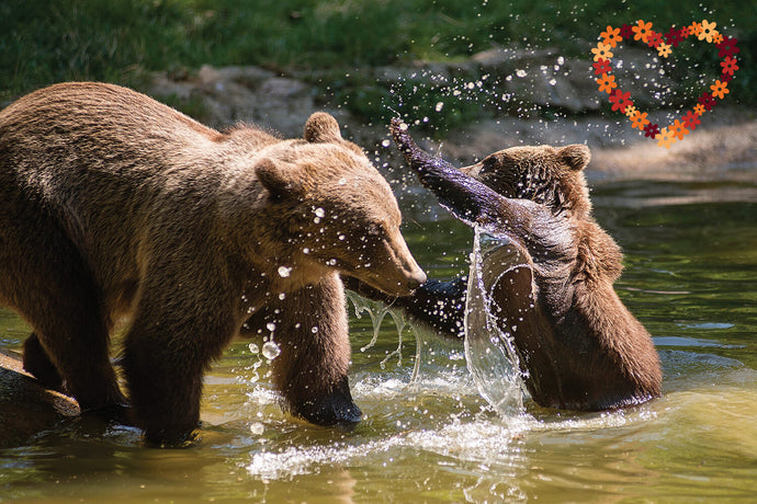 Mother bear playing with her cub in the water.