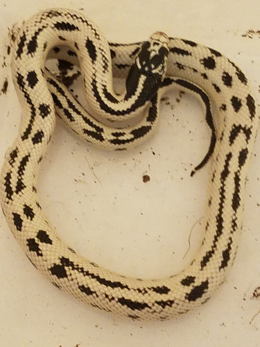 STRIPED HIGH WHITE CALIFORNIA KING SNAKE - Babies