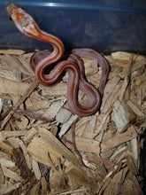 Load image into Gallery viewer, Blood Red Striped Corn Snake – baby