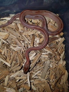 Blood Red Striped Corn Snake – baby