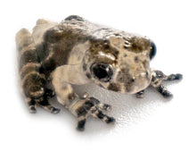 Load image into Gallery viewer, South American Bird Poop Frog
