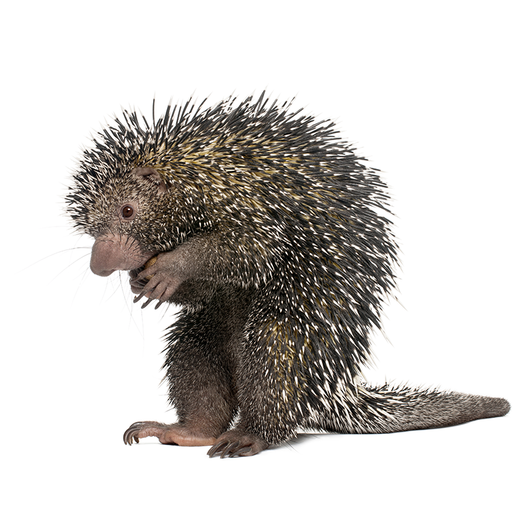 Porcupine - Puercoespin