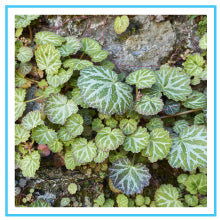 saxifraga-sarmentosa-extract-skin-benefits-tan-removal
