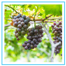 grape-seed-extract-benefits