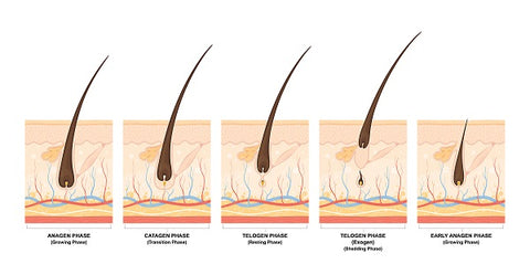 stages-of-hair-growth-derma