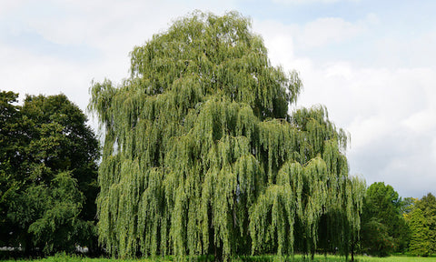 willow-tree-salicylic-acid