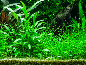Cryptocoryne x willisii - Willi´s Wasserkelch