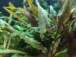 Laden Sie das Bild in den Galerie-Viewer, Cryptocoryne undulatus ´Red`