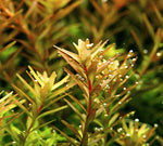 Laden Sie das Bild in den Galerie-Viewer, Rotala rotundifolia - Rundblättrige Rotala
