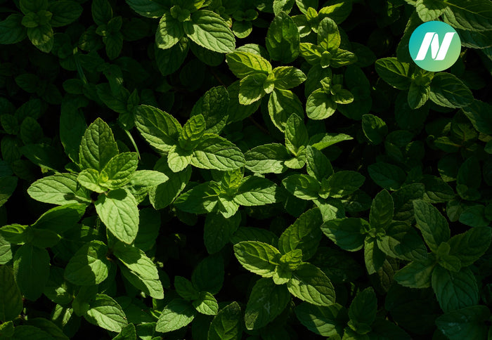 Can Peppermint Improve Athletic Performance?