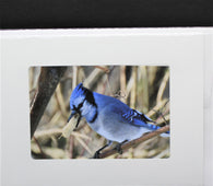 Blue Jay photo card