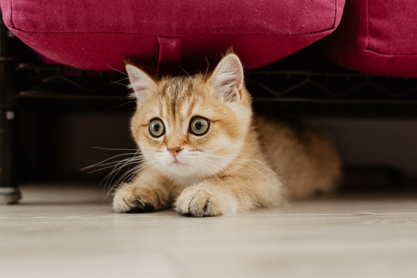 cute cat under the bed