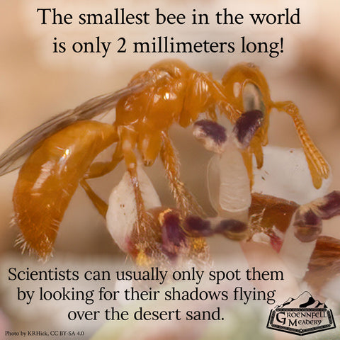 <span>The smallest bee in the world is only 2 millimeters long! Scientists can usually only spot them by looking for their shadows flying over the desert sand.</span>