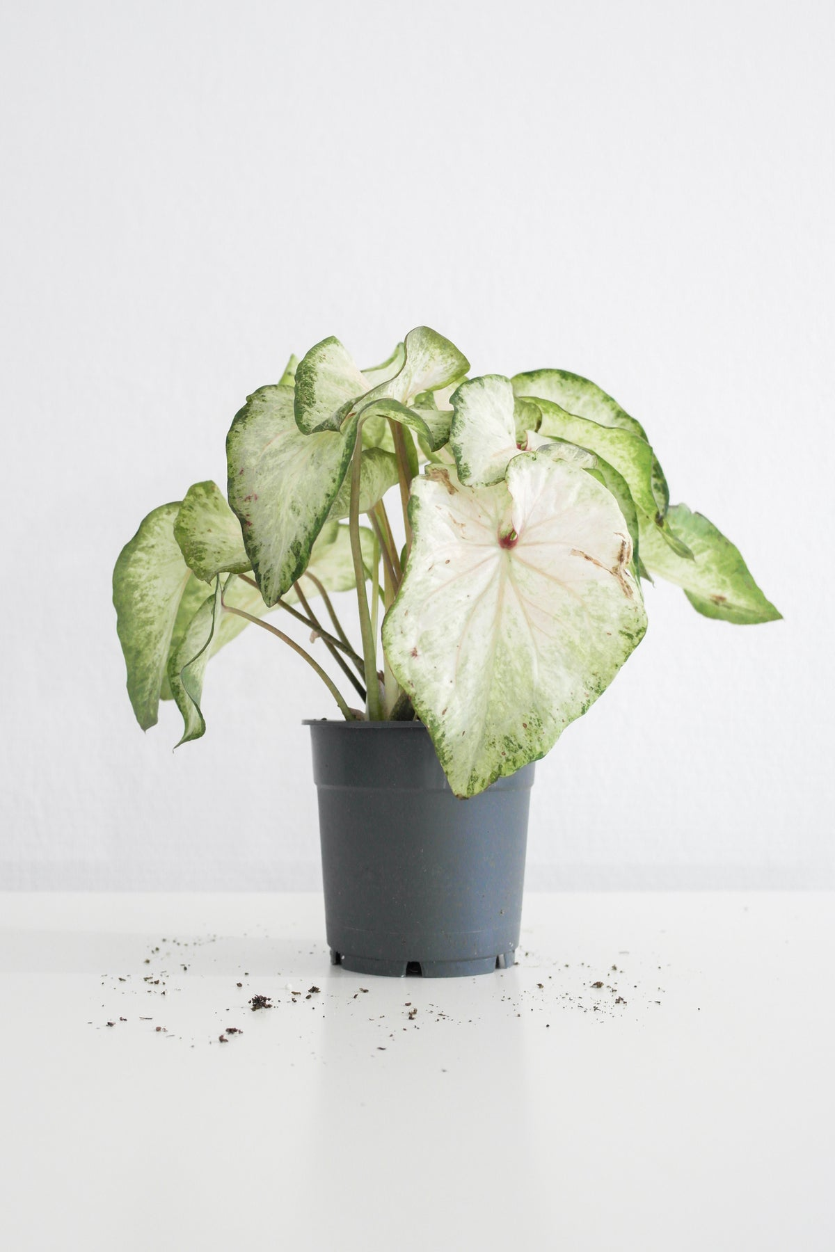 Caladium White Star