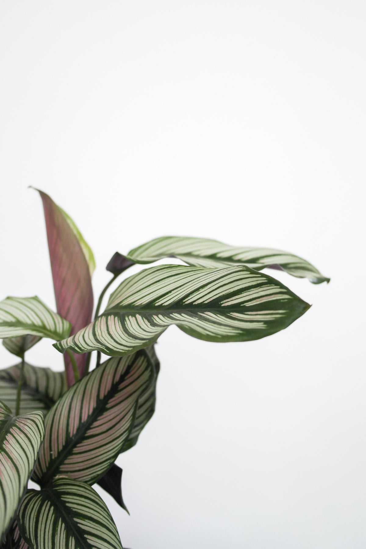 Calathea 'White Star'