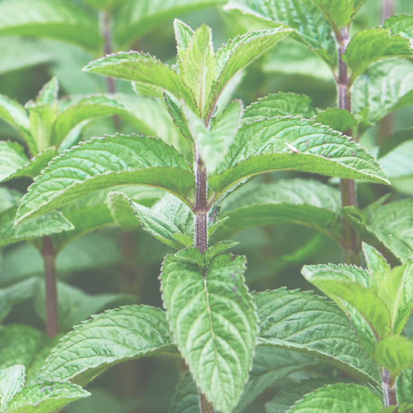 Peppermint Essential Oil (10ml)