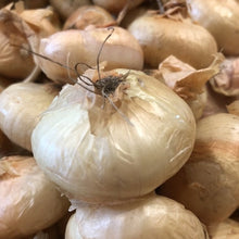 Load image into Gallery viewer, Cipollini Onions, lb.