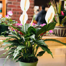 Load image into Gallery viewer, Plants, Peace Lily, 6""