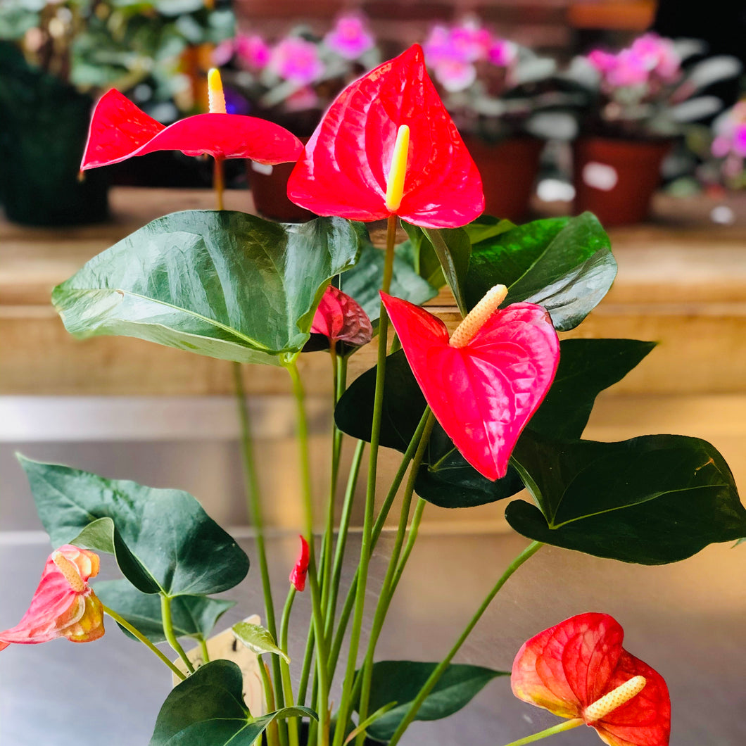Plants, Anthurium, 6""