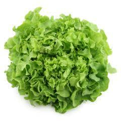 Green Oak Lettuce Organic Vegetables Thailand