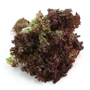 Red Coral Lettuce - Organic Salads Koh Samui, Thailand