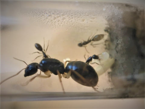 White-Legged sugar ant queen- camponotus claripes