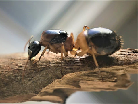 Banded Sugar Ant Queen + 5-10 Workers- Camponotus Consobrinus