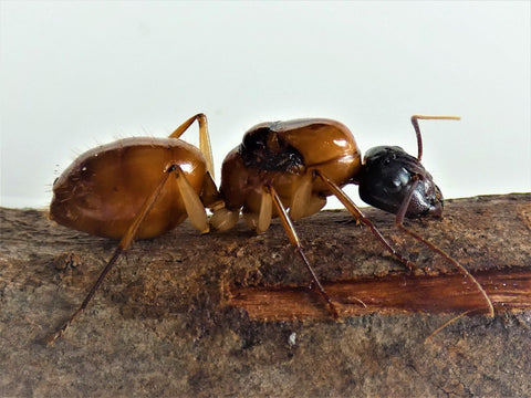 Camponotus loweryi ant queen