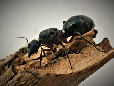 Giant Sugar Ant Queen + 1-2 Workers- Camponotus Intrepidus