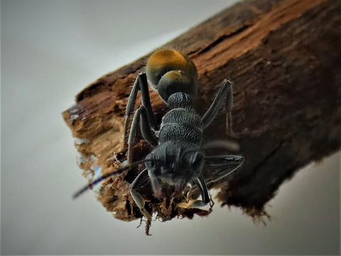 Gold Tailed Bull Ant Queen- Myrmecia Piliventris