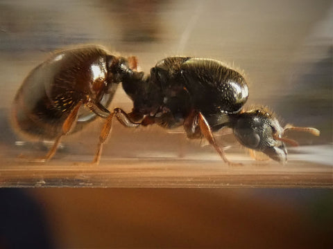 Giant Big Headed Queen - Pheidole cf. antipodum