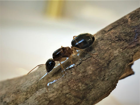 pale legged sugar ant queen- camponotus lownei
