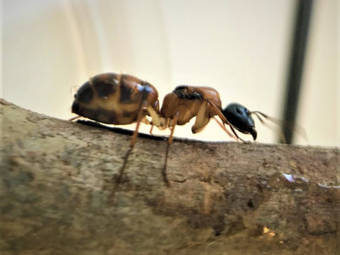 black headed sugar ant queen- camponotus nigriceps