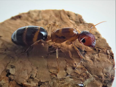 Colobopsis Macrocephala Queen