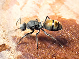 Golden Tailed Spiny Ant Queen- Polyrhachis