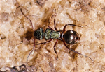 Spiny ant queen polyrhachis hookeri