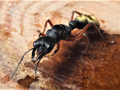 Myrmecia Fulvipes bullant queen