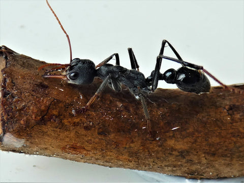 Giant wingless bullant queen- Myrmecia Simillima
