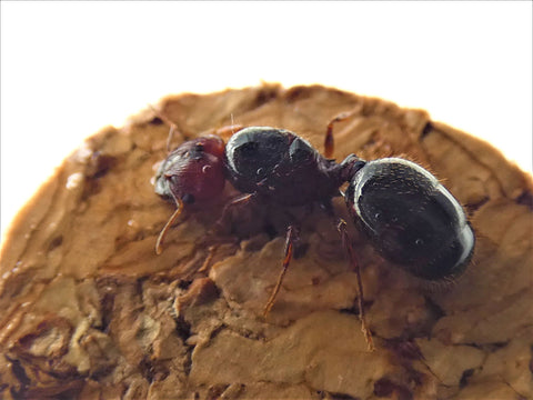 Big headed ant queen- pheidole