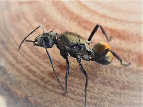 Golden tailed spoint ant queen polyrhichis ammon