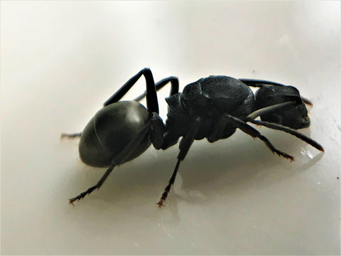 Spiny ant queen- Polyrhachis Phryne
