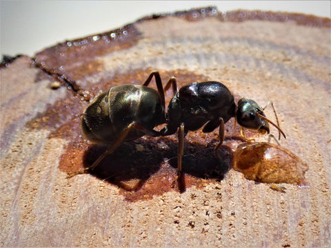 Meat Ant Queen- Iridomyrmex Purpureus