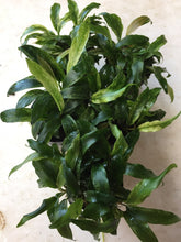 Load image into Gallery viewer, Anubias Glabra Variegated
