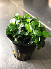 Load image into Gallery viewer, Anubias Nana 'Petite'