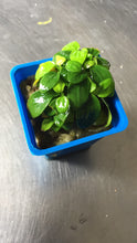 Load image into Gallery viewer, Anubias Mini Golden Nana