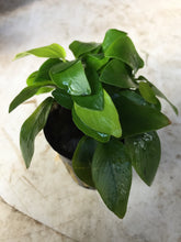 Load image into Gallery viewer, Anubias Nana