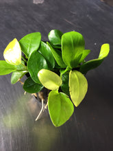 Load image into Gallery viewer, Anubias Golden Nana