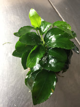 Load image into Gallery viewer, Anubias Nana Bonsai