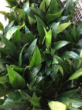 Load image into Gallery viewer, Anubias Barteri Angustifolia