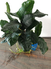 Load image into Gallery viewer, Anubias coffeefolia